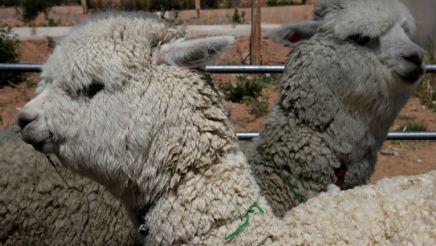Cientificos-chilenos-descubren-un--fuerte--anticuerpo-contra-el-coronavirus-en-las-alpacas