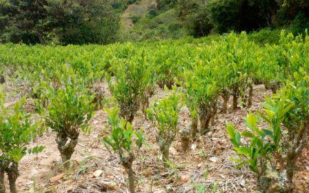 Union-Europea,-preocupada-por-el-incremento-de-cultivo-de-coca-en-Bolivia