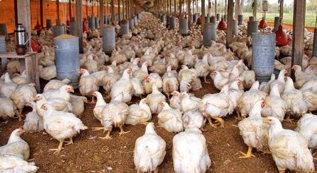 Avicultores-advierten-escasez-de-carne-de-pollo-si-continuan-bloqueos-en-las-carreteras