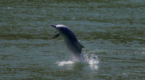 Los-delfines-reaparecen-en-Hong-Kong-tras-quedar-suspendido-el-trafico-marino-por-el-coronavirus