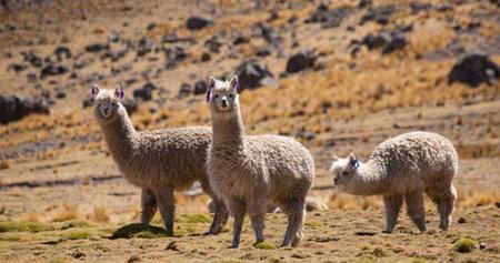 W25,-el-poderoso--superanticuerpo--de-alpaca-descubierto-por-cientificos-chilenos-capaz-de-neutralizar-el-coronavirus