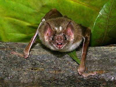 Hallaron-murcielagos-en-Tailandia-con-un-nuevo-coronavirus