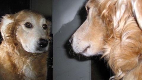 Descubren-en-perros-una-habilidad-previamente-desconocida