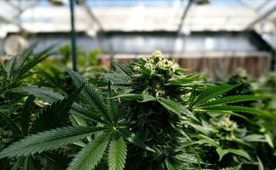 Estado-de-Nueva-York-anuncia-acuerdo-para-legalizar-la-marihuana-recreativa