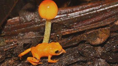 Descubren-una-nueva-especie-de-rana-diminuta-que-resplandece-