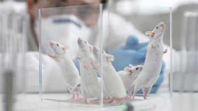 Cientificos-logran-retrasar-el-envejecimiento-en-ratones-y-esperan-que-el-metodo-pueda-funcionar-en-humanos