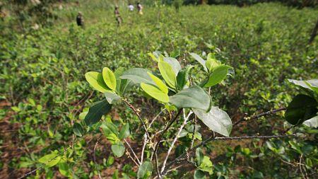 Detectan-unas-200-hectareas-de-coca-en-la-reserva-del-Chore-y-Yapacani